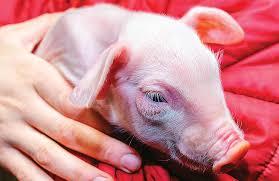 Normal Piglet